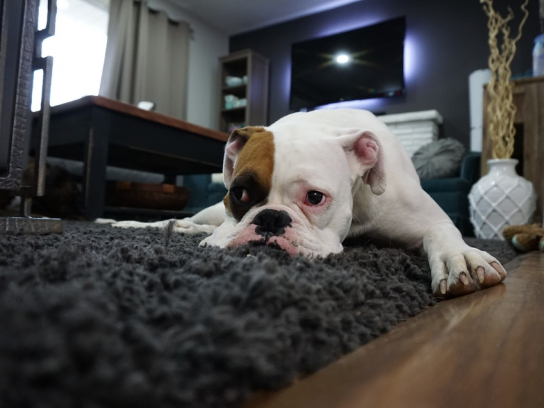 5 Best Apartment Dogs For Dog Lovers