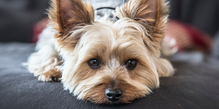 Yorkshire Terrier – Live More Zone