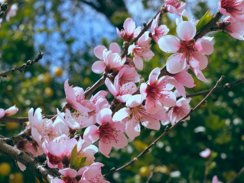 The India International Cherry Blossom Festival In Shillong Is An Unmissable Affair