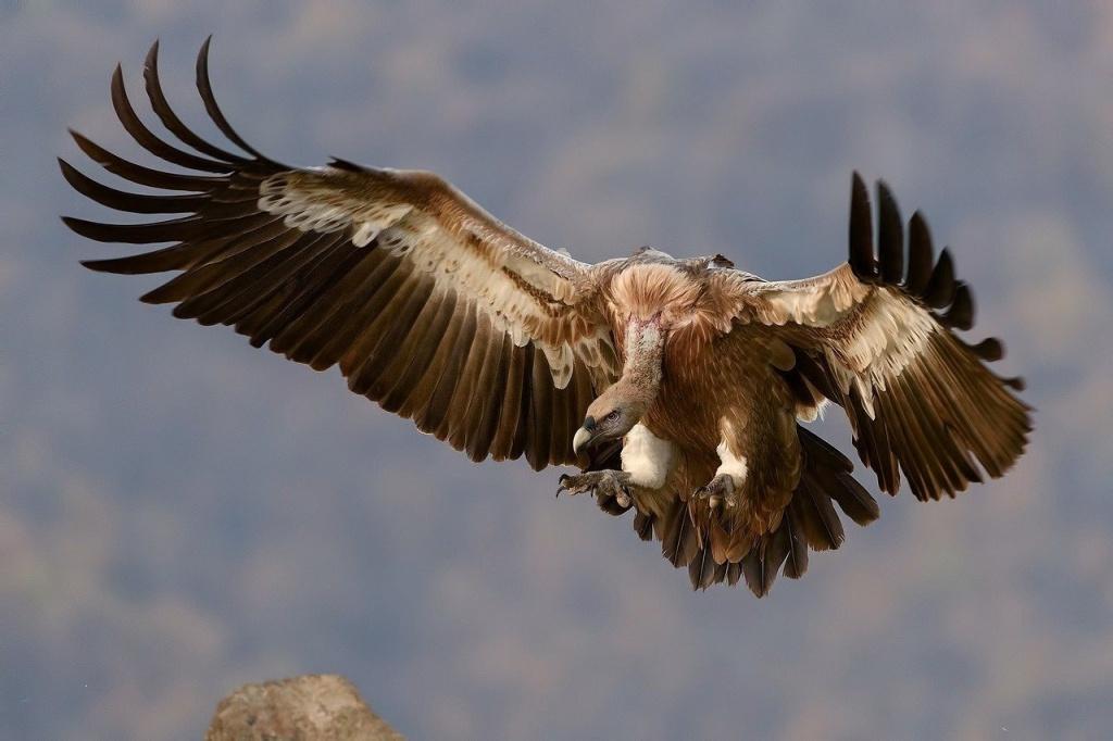 Slender-billed Vulture