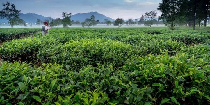 Tea Estates - Live More Zone